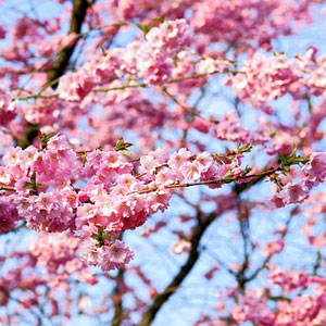 Best spring flowering trees for northern virginia green vista tree flowering cherry mightylinksfo