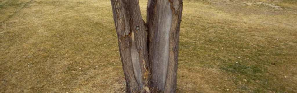 sunscald on green ash - image by William Jacobi, Colorado State University, Bugwood.org
