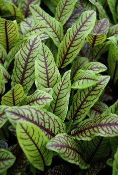 Bloodwort photo courtesy of Bluestone Perennials