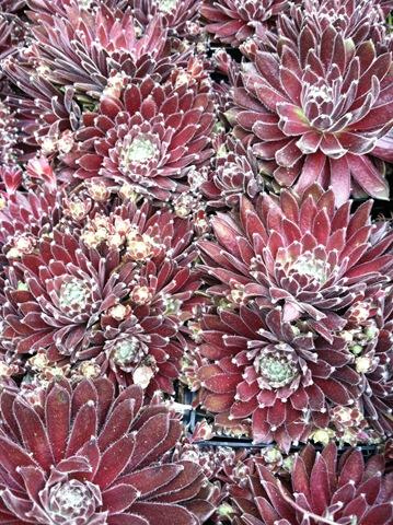 7brooklyn succulents