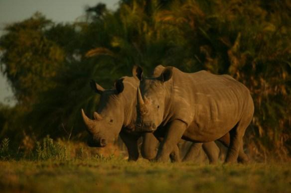 rhino #justonerhino beverly joubert