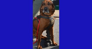 "GCSO ANNOUNCES THE RETIREMENT OF BLOODHOUND ""BLUE"""
