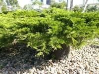 juniperus sabina calgary carpet  Floor Matttroy