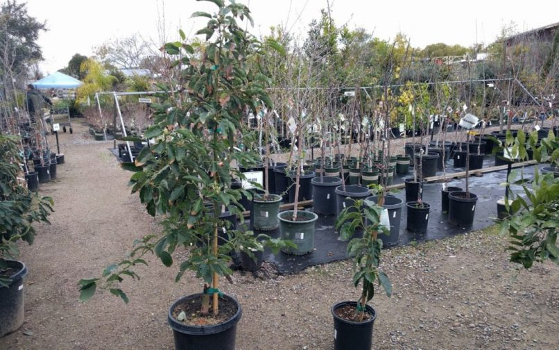 15 gallon avocado tree | Wajitree co