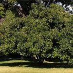 The Fuerte Avocado Tree A Profile Greg Alder S Yard Posts Food Gardening In Southern California