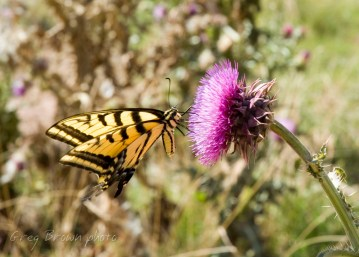 ButterflyThistle0466cr5x7Smw1200
