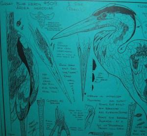 Great Blue Heron, Standing, 1/2