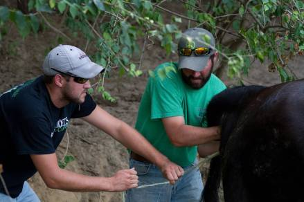 Jake & Josh tied a rope around the calf's hoof and pulled to help delivery.
