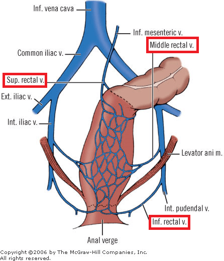 Figure 1: The lower (inferior), middle and upper rectal (superior) veins