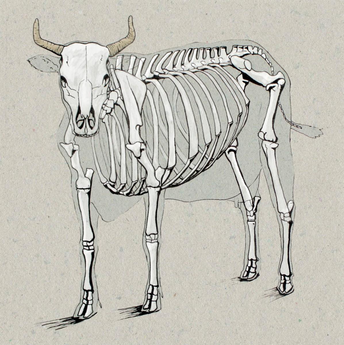 cow skeleton bones diagram kenmore dryer thermostat wiring anatomy drawing greg tatum