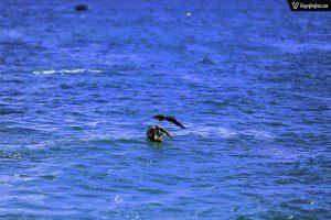 Pelican Snatch