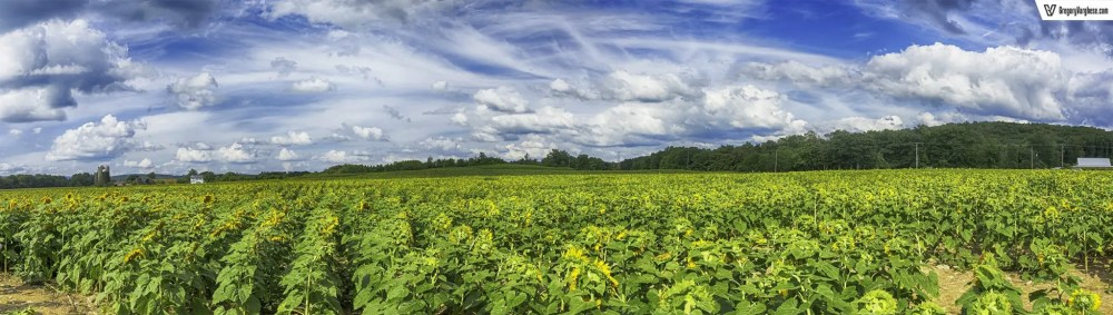 Sunflower-Field-Panoramic