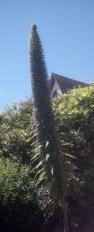 echium-tower-of-jewels-eureka-california-usa