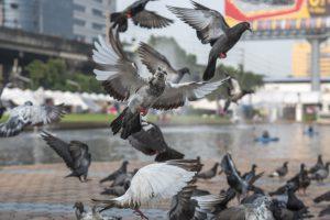 Freedom bird , pigeon