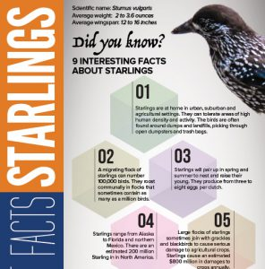 facts about starlings infographic
