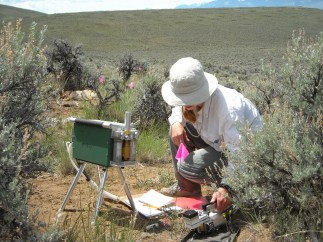 Measuring photosynthesis on a native Montana plant during an extremely hot and dry year
