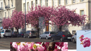 Les superbes cerisiers du japon de la place de la gare abattus sans ménagement et sans raison