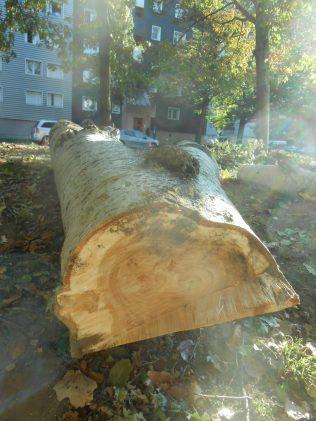 1 arbres rue jean bart