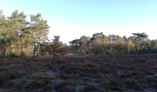 Heide in het Leenderbos