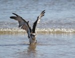 Osprey lifts its wings
