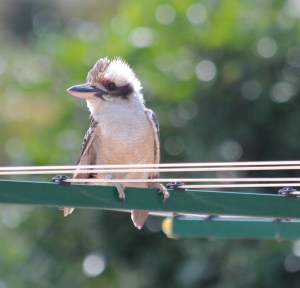 Drying her wings on the clothesline