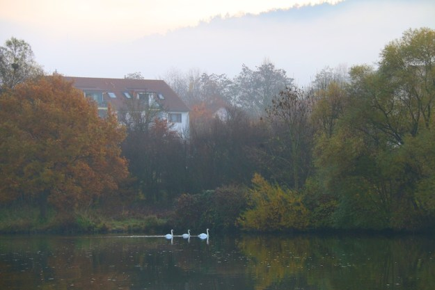 Three swans in the mist on the Rhine