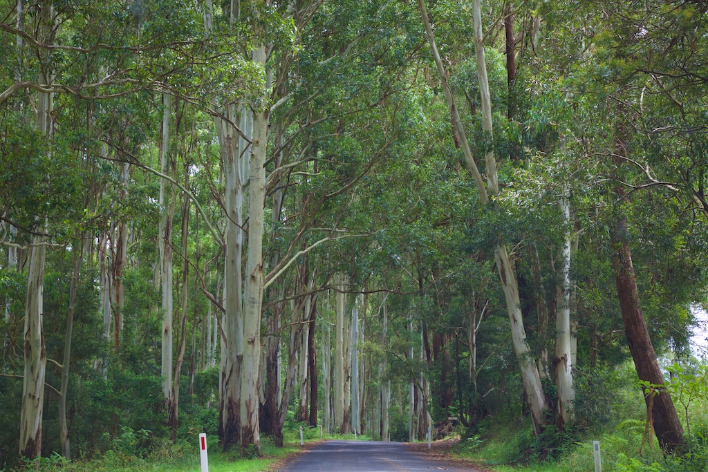 A road between the towering trees of the rain forest
