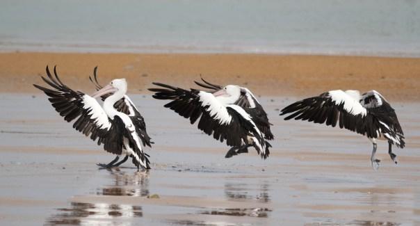 Pelican landing copy