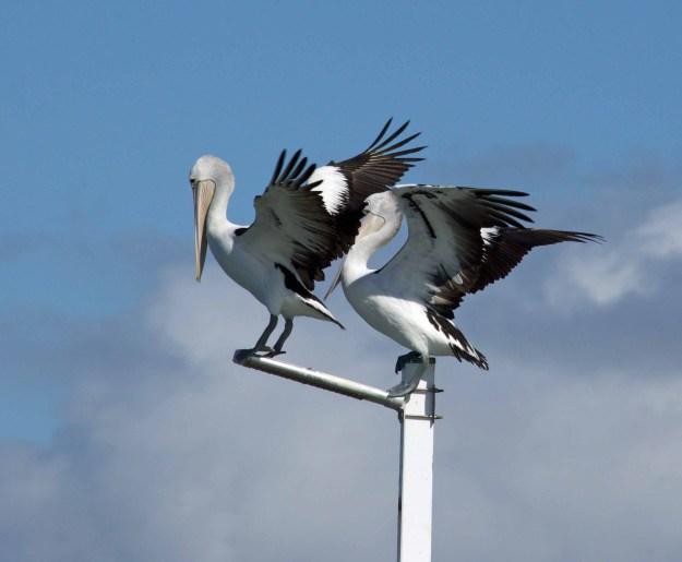 A light pole on the Urangan pier is a favourite spot