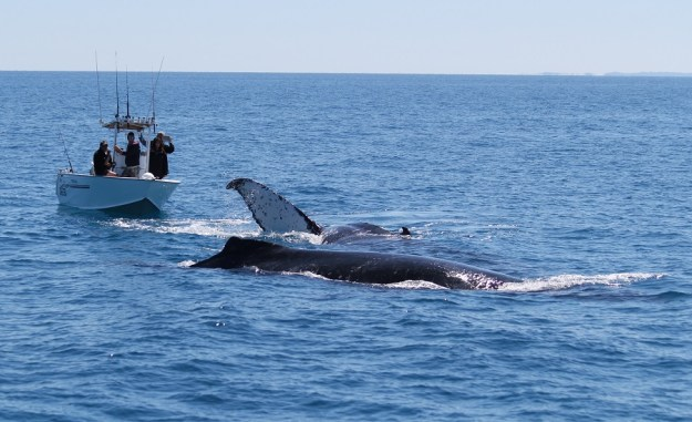 Check out the size of the whales against this runabout - and they're not even bog ones