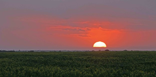 Sunset on the canola