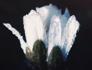 whiteflowerdew