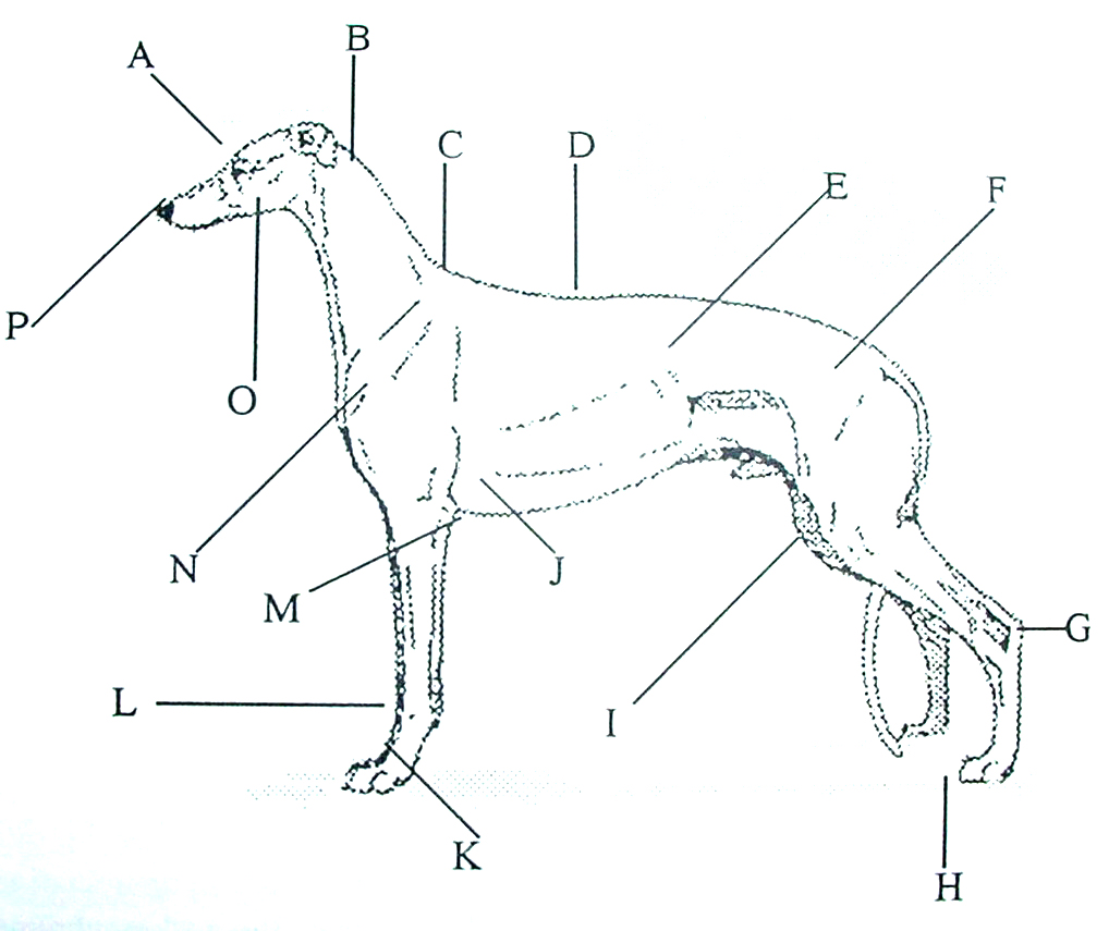 hight resolution of  see below and right please note to determine your dog s height you measure from the floor to the shoulder withers anatomical chart