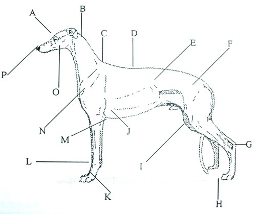 small resolution of  see below and right please note to determine your dog s height you measure from the floor to the shoulder withers anatomical chart