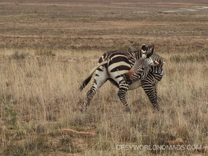 mountain-zebra-nationalpark-28.jpg