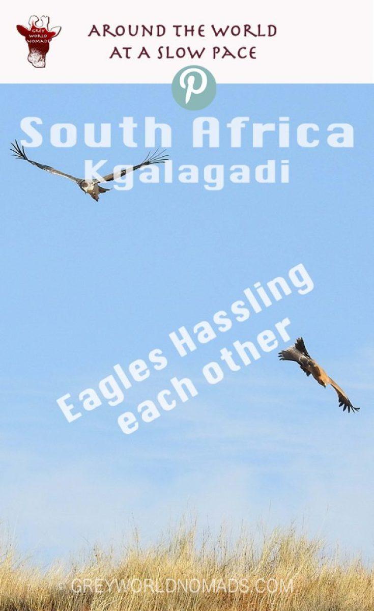 eagle-hassling-kgalagadi-3