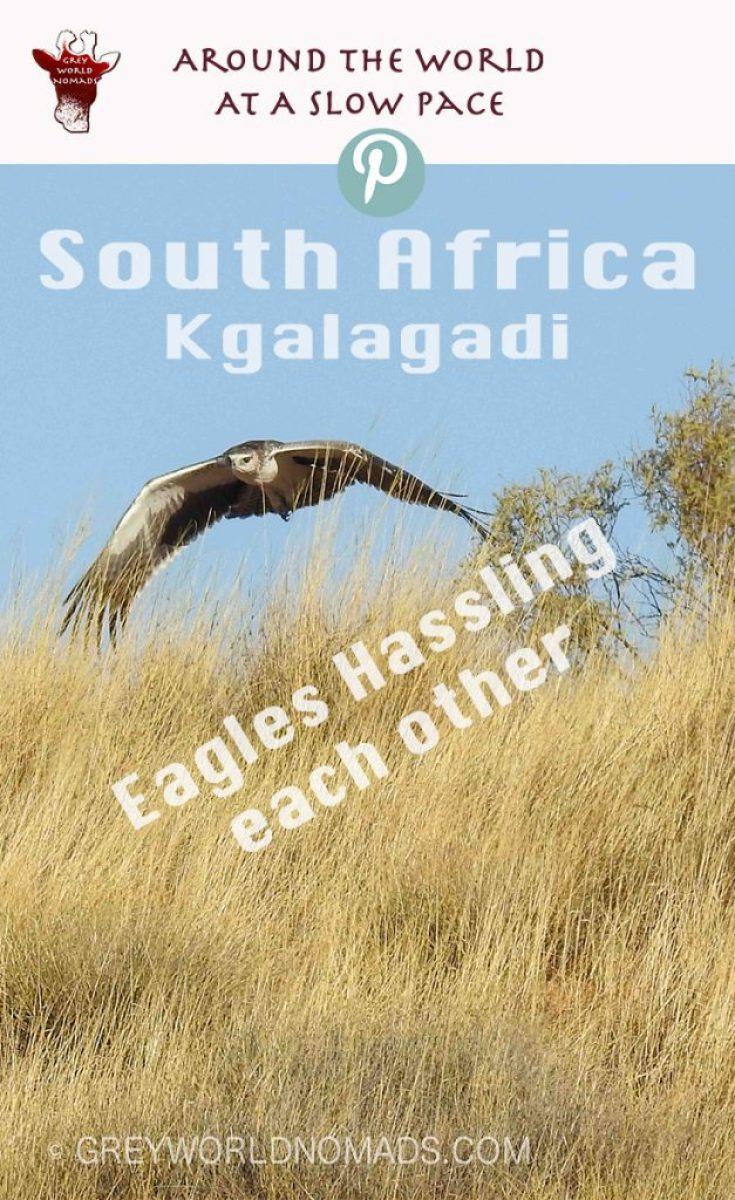 eagle-hassling-kgalagadi