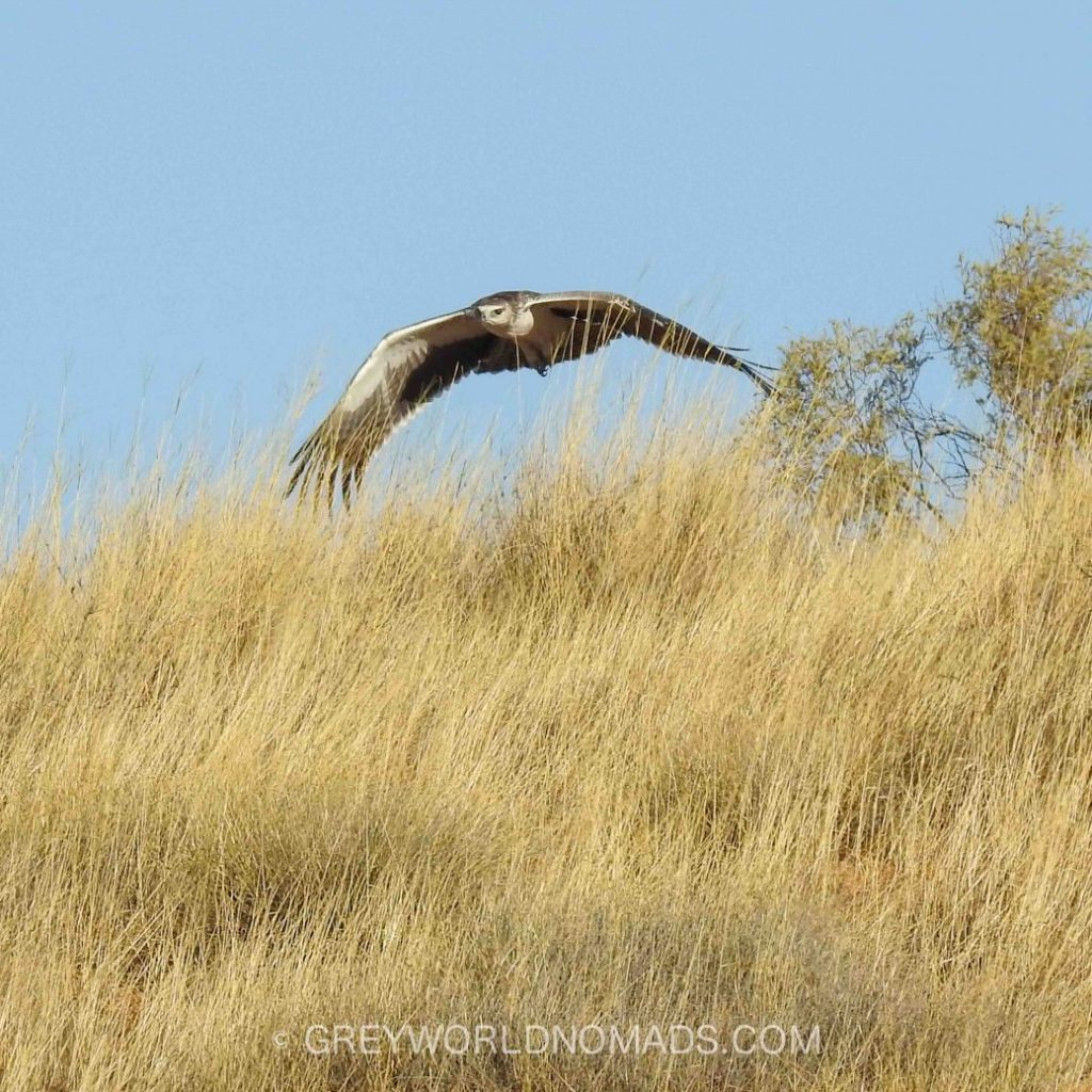 A Martial Eagle and a Tawny Eagle hassle each other for nest building material.