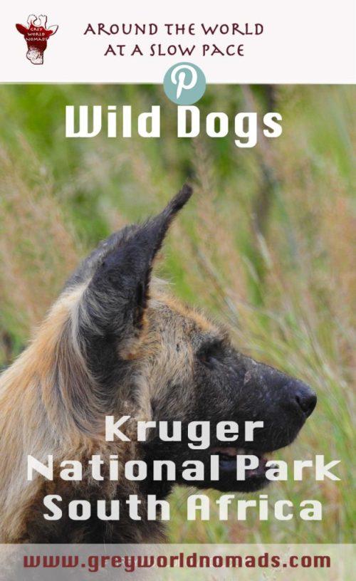 wild-dogs-kruger-3