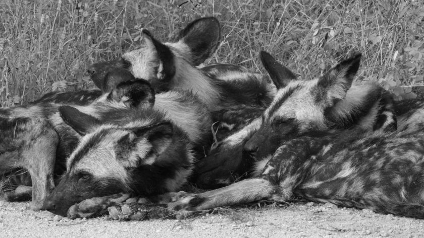 Sleeping pack of wild dogs in Kruger National Park, South Africa