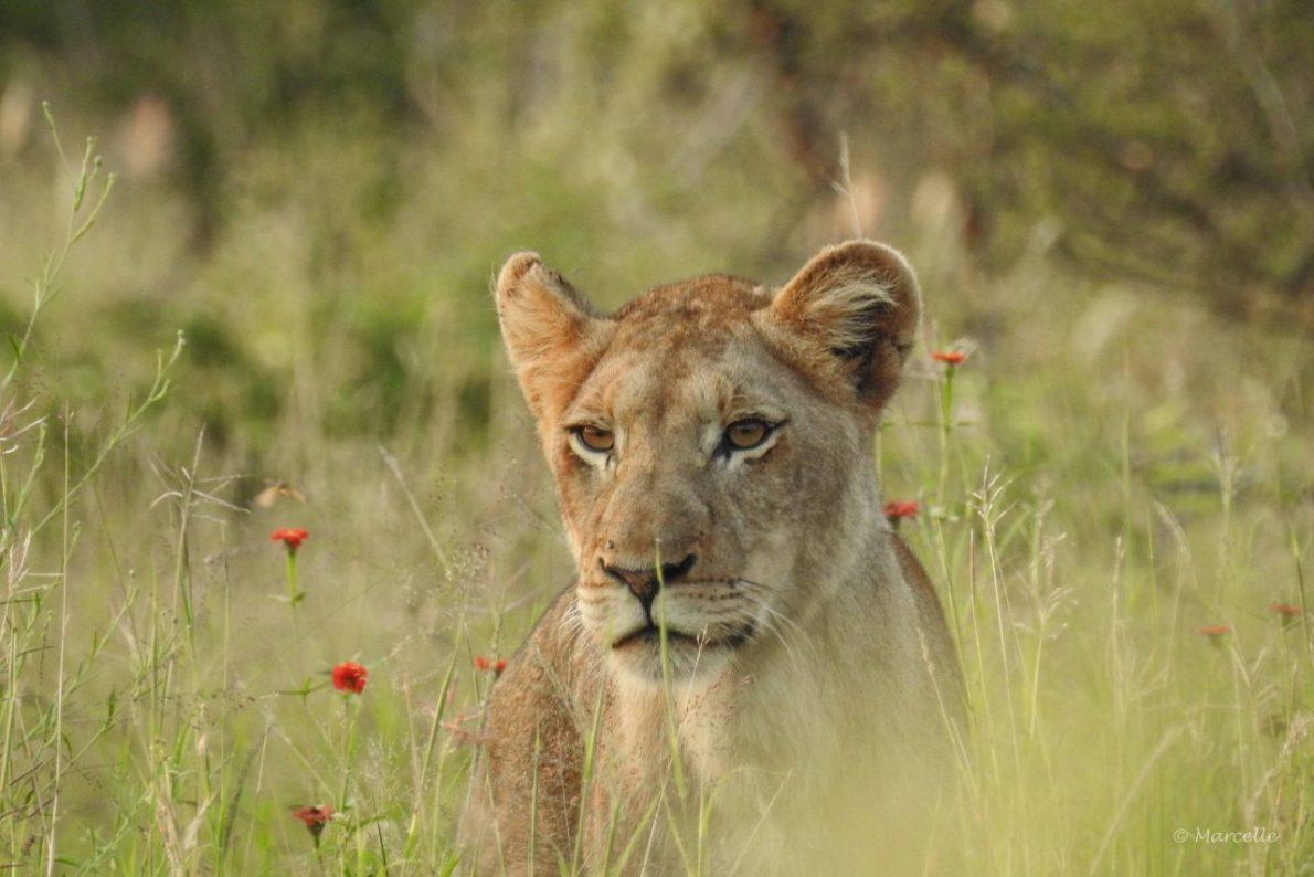 Lioness In Lush Kruger National Park