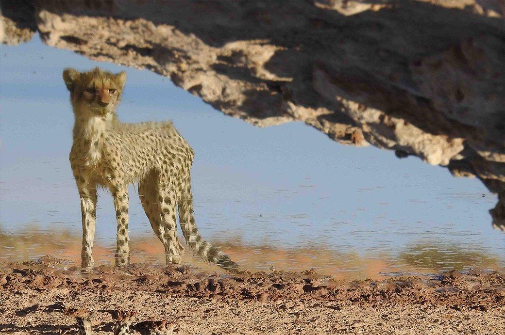 Reflexion Of Cheetah Cub  |  Spiegelbild eines Gepardenjungen