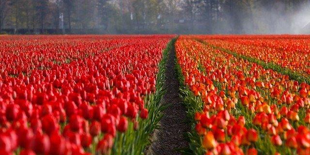 land der tulpen, keukenhof öffnungszeiten ostern, busreisen nach holland zur tulpenblüte, Holland zur Tulpenblüte, Amsterdam Sehenswürdigkeiten Tulpen, Holland Blumenzwiebel Zentrum.