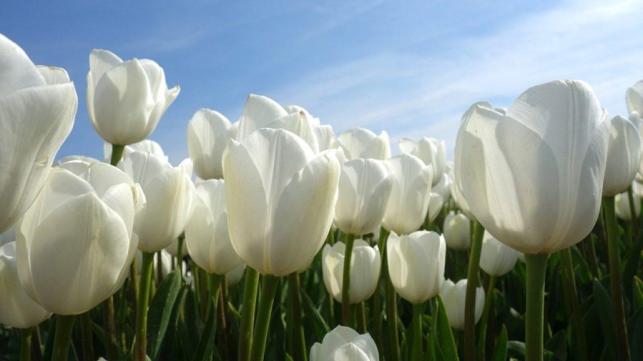 tulpenschau in holland, zur tulpenblüte nach holland, Tulpenblüte in Amsterdam 2018, tulpenzeit in amsterdam, entfernung amsterdam keukenhof,