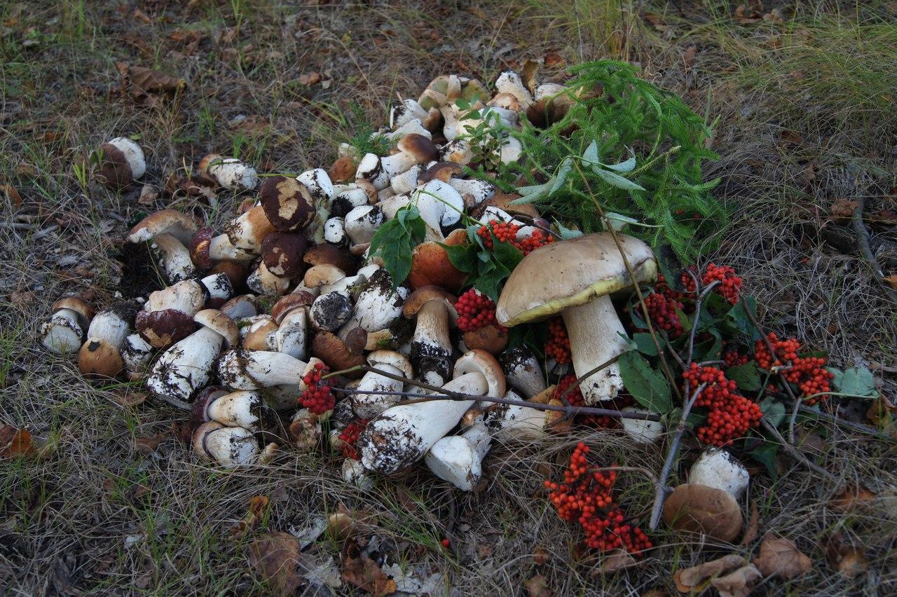 Какие грибы растут в Приморском крае.