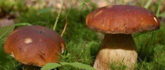 Сезон сбора грибов в Новосибирске.