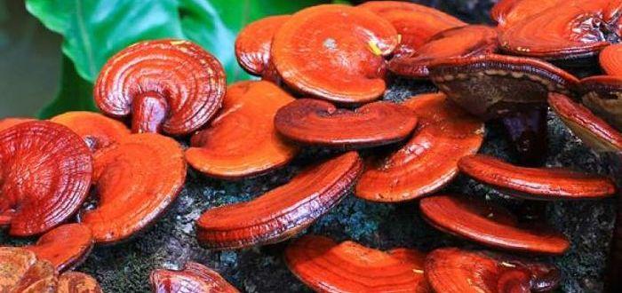 Полезные свойства гриба рейши.