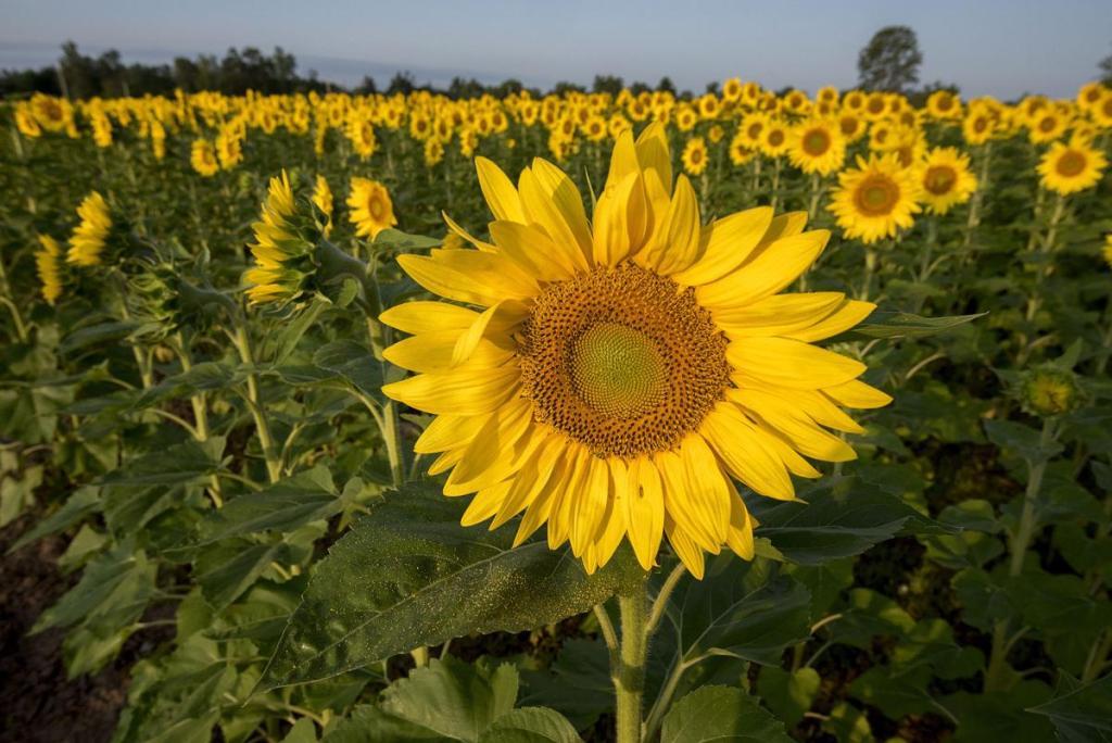 sanborn sunflowers