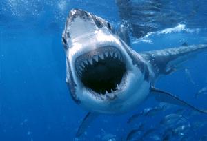 Sharks like Tuna Steaks