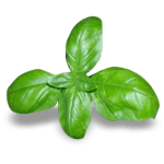 Spezie Basilico